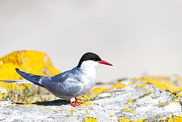 Arctic Tern on rock and lichen, British Isles