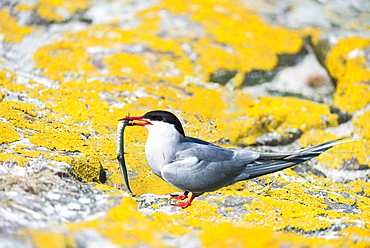 Arctic tern and chick on rock, British Isles