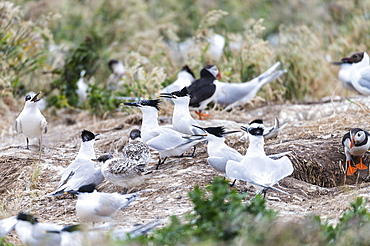 Sandwich Terns and Puffins in flight, British Isles