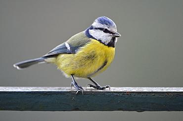Blue tit on a railing, France