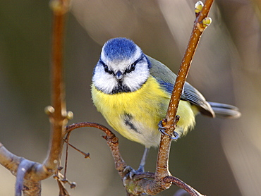 Blue tit on Italian Maple, France