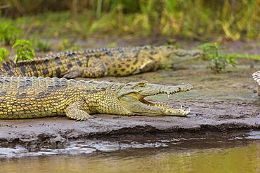 Nile Crocodiles on bank, Lake Chamo Ethiopia
