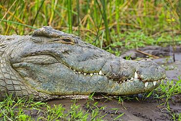 Portrait of Nile Crocodile on bank, Lake Chamo Ethiopia