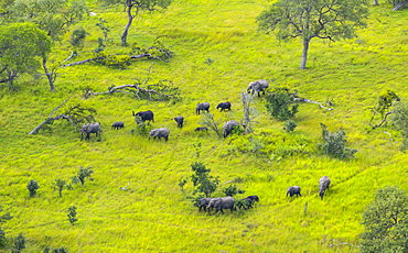 African Elephants in the plain, Okavango Delta Botswana
