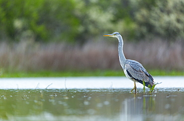 Grey Heron walking in a swamp, Bulgaria