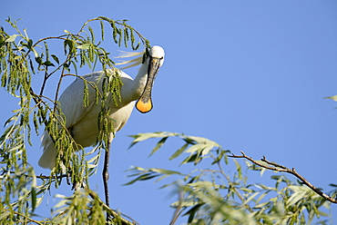 Eurasian Spoonbill on a branch, Danube Delta Romania
