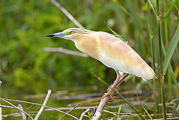 Squacco Heron on a branch , Danube Delta Romania