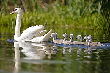 Mute Swan and young on water, Danube Delta Romania