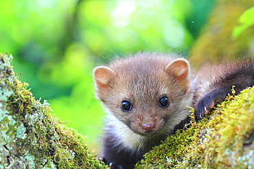 Portrait of young Beech marten on a mossy trunk, France
