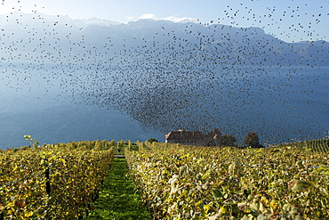 Starlings over the Lavaux terraced vineyards, Switzerland