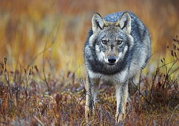 Grey wolf in wetlands in Eastern Finland