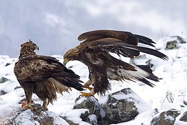 Golden eagle on his prey, Rhodopes mountains, Bulgaria