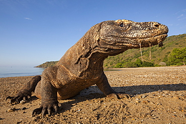 Komodo dragon on a beach, Komodo Indonesia