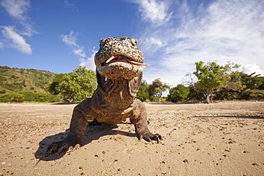 Portrait of Komodo dragon on a beach, Komodo Indonesia