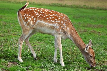 Fallow Deer eating grass, France