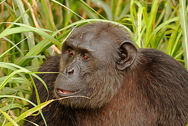 Portrait of Chimpanzee in tall grass, Cameroon