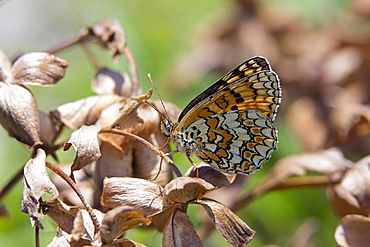 Knapweed fritillary on dry grass by end of summer