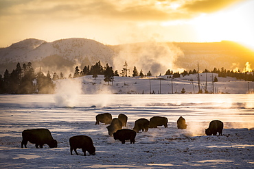 American bisons near hot springs in winter, Yellowstone USA