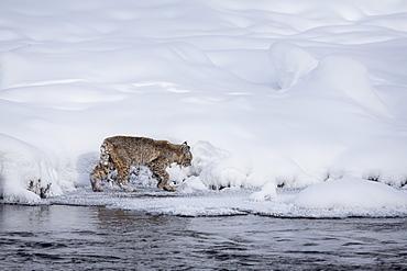 Bobcat walking in the snow, Yellowstone USA