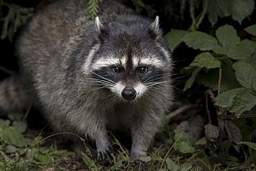 Raccoon undergrowth, British Columbia Canada