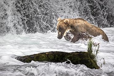 Grizzly fishing Salmons in a waterfall, Katmai Alaska USA