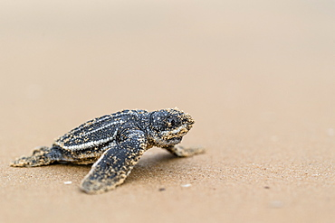 Young Leatherback turtle on sand, French Guiana