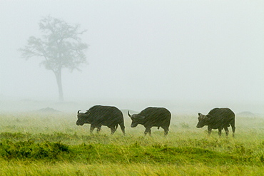 Kenya, Masai-Mara game reserve, buffalo (Syncerus caffer), under the rain