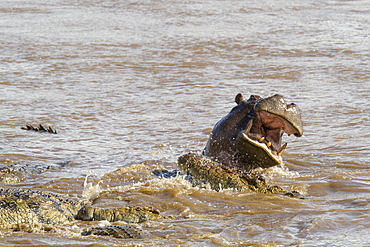 Kenya, Masai-Mara game reserve, Mara river, Nile crocodile (Crocodylus niloticus), fighting with hippo