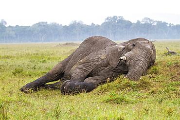 Kenya, Masai-Mara Game Reserve, Elephant (Loxodonta africana), resting