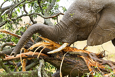 Kenya, Masai-Mara Game Reserve, Elephant (Loxodonta africana), a eating barks under the rain