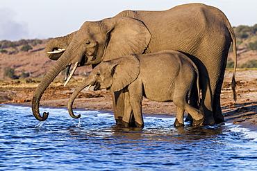 Botswana, Chobe national park, elephant (Loxodonta africana), drinking in the Chobe river