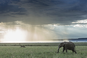 Kenya, Masai-Mara Game Reserve, Elephant (Loxodonta africana), and storm