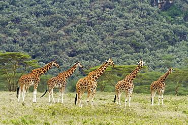 Kenya, Nakuru national park, Baringo giraffe (Giraffa cameleopardalis), herd