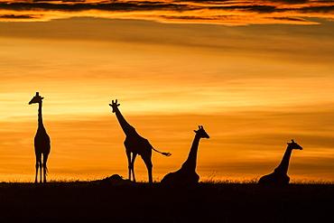 Kenya, Masai-Mara Game Reserve, Girafe masai (Giraffa camelopardalis), at sunrise