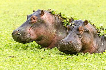 Kenya, Masai-Mara game reserve, Hippopotamus (Hippopotamus amphibius), in water lettuces
