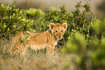 Kenya, Masai-Mara game reserve, Lion (Panthera leo), one cub