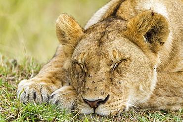 Kenya, Masai-Mara game reserve, Lion (Panthera leo), female at rest