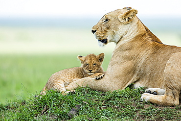 Kenya, Masai-Mara game reserve, Lion (Panthera leo), female and very young cubs