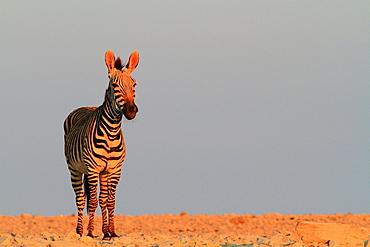 Mountain zebra (Equus zebra)