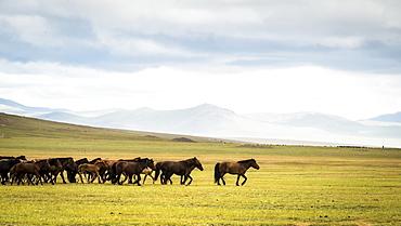 Mongolian horses in the steppe, Tsaritsyn Ereg - Province of Arkhangai - Mongolia