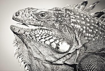 Portrait black and white of Green Iguana (Iguana iguana - Montserrat island