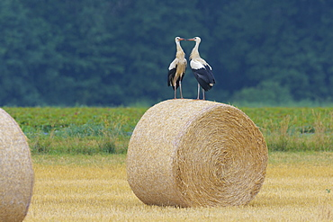 White Storks (Ciconia ciconia), Hesse, Germany, Europe