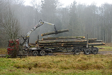 logging truck loading of beech logs , above Hohwald, between the Col de la Charbonnière and Champ du Feu, High Vosges, Alsace, France