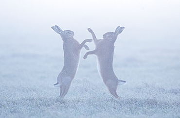 Brown hare (Lepus europaeus) Brown hare boxing in the mist on a frosty meadow, England, Winter