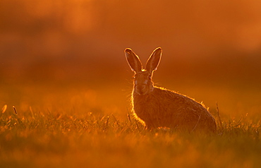 Brown hare (Lepus europaeus) Hare sitting in a meadow at sunset, England, Spring