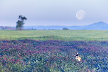 Little bustard (Teyrax tetrax) Bustard in a meadow at sunrise with the moon in the backgroung, Spain, Spring