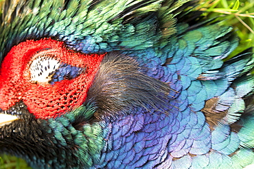 Pheasant (Phasianus colchicus) Head details, England, Winter