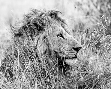 Son of Nodge the lion, Masai Mara, Kenya