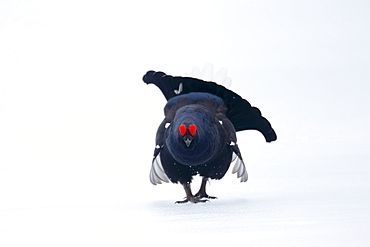 Black grouse (Lyrurus tetrix), single male on snow, Finland