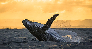 Humpback whale jumps out of the water. Beautiful jump. A rare photograph. Madagascar. St. Mary's Island